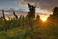 Puesta del sol en viñedos Imagenes de archivo