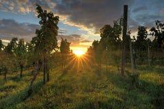 Puesta del sol en viñedos Fotografía de archivo