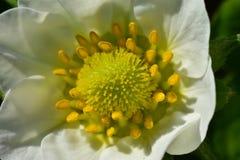 Puesta del sol Forest White Flower Macro Brote de flor foto de archivo libre de regalías