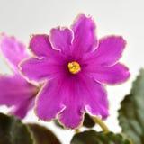 Puesta del sol helada de la obtención vegetal de la violeta africana Foto de archivo