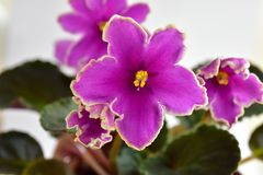 Puesta del sol helada de la obtención vegetal de la violeta africana Fotografía de archivo