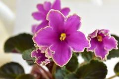 Puesta del sol helada de la obtención vegetal de la violeta africana Fotos de archivo