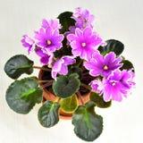 Puesta del sol helada de la obtención vegetal de la violeta africana Imagen de archivo