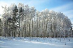Puesta del sol hermosa del invierno con los árboles de abedul en la nieve Imagenes de archivo