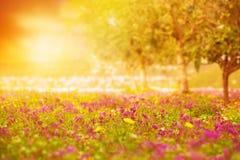 Puesta del sol hermosa en campo floral Imágenes de archivo libres de regalías