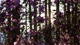 Puesta del sol hermosa en los rayos del bosque del sol poniente que encienden las flores rosadas asombrosas almacen de video