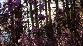 Puesta del sol hermosa en los rayos del bosque del sol poniente que encienden las flores rosadas asombrosas metrajes