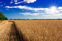 Puesta del sol hermosa sobre campo de trigo Fotografía de archivo