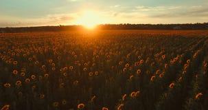 Puesta del sol hermosa sobre campo del girasol almacen de metraje de vídeo