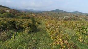 Puesta del sol hermosa sobre campos del viñedo, fondo de las montañas tiro Cosecha del viñedo en la estación del otoño, visión aé metrajes