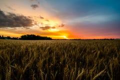 Puesta del sol hermosa sobre un campo de maíz Foto de archivo libre de regalías