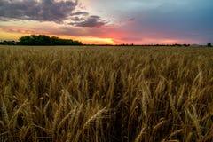 Puesta del sol hermosa sobre un campo de maíz Imagenes de archivo