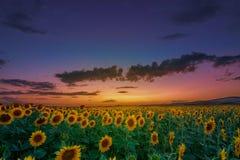 Puesta del sol hermosa sobre un campo del girasol fotografía de archivo libre de regalías