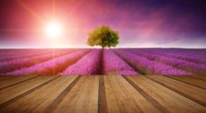Puesta del sol imponente del verano del paisaje del campo de la lavanda con el solo árbol Imágenes de archivo libres de regalías
