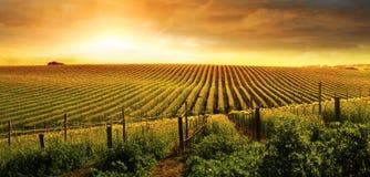 Puesta del sol imponente del viñedo Fotos de archivo libres de regalías