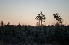 Puesta del sol del invierno de la opinión del bosque, sobre el campo Otanki, Letonia foto de archivo
