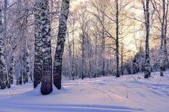 Puesta del sol del invierno en bosque del abedul Fotos de archivo libres de regalías