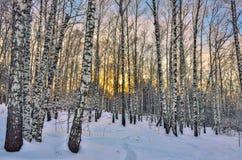 Puesta del sol del invierno en bosque del abedul Fotografía de archivo libre de regalías