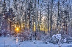 Puesta del sol del invierno en el bosque del abedul Imagen de archivo libre de regalías