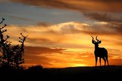 Puesta del sol Kudu Imágenes de archivo libres de regalías