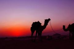 Puesta del sol la India del verano del safari del camello Fotos de archivo