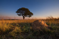 Puesta del sol mágica en África con un árbol solitario en la colina y ningunas nubes fotos de archivo