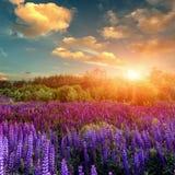 Puesta del sol majestuosa sobre el campo de las flores del lupine Foto de archivo