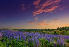 Puesta del sol majestuosa sobre el campo de las flores del lupine Fotos de archivo libres de regalías