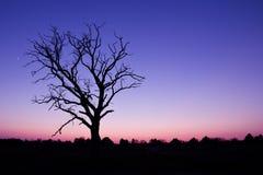 Puesta del sol púrpura y árbol marchitado Fotos de archivo libres de regalías