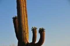 Puesta del sol del paisaje del desierto con el cactus del Saguaro en Carnegiea de la floración Fotografía de archivo