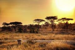 Puesta del sol del parque nacional de Serengeti Fotografía de archivo