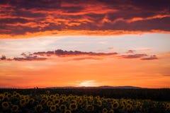 Puesta del sol roja y girasoles imagen de archivo