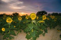 Puesta del sol romántica en campo del girasol imágenes de archivo libres de regalías