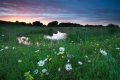 Puesta del sol rosada del verano sobre prado de la manzanilla por el lago Imagen de archivo libre de regalías
