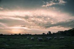 Puesta del sol sobre campo con las ovejas Foto de archivo