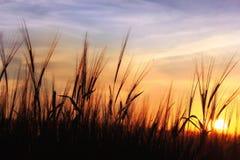 Puesta del sol sobre campo de la avena Fotos de archivo