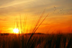 Puesta del sol sobre campo de la avena Fotografía de archivo libre de regalías