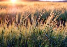 Puesta del sol sobre campo de la avena Imagen de archivo