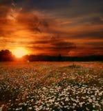 Puesta del sol sobre campo de las margaritas Foto de archivo libre de regalías