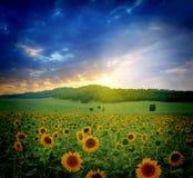 Puesta del sol sobre campo de los girasoles Fotografía de archivo libre de regalías