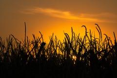 Puesta del sol sobre campo de maíz Imagen de archivo libre de regalías