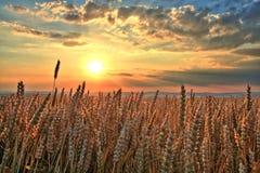 Puesta del sol sobre campo de trigo Foto de archivo libre de regalías