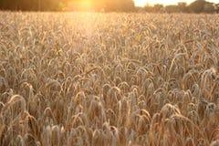 Puesta del sol sobre campo de trigo imagen de archivo