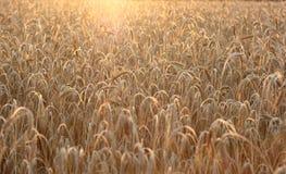 Puesta del sol sobre campo de trigo foto de archivo