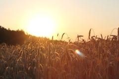 Puesta del sol sobre campo de trigo fotos de archivo libres de regalías
