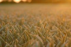 Puesta del sol sobre campo de trigo de oro Fotos de archivo libres de regalías