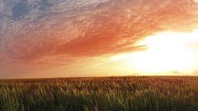 Puesta del sol sobre campo de trigo. Timelapse almacen de video