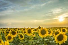 Puesta del sol sobre campo del girasol fotos de archivo