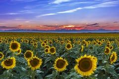 Puesta del sol sobre campos del girasol de Colorado Imágenes de archivo libres de regalías