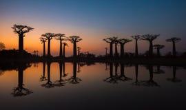 Puesta del sol sobre el callejón de los baobabs, Madagascar Fotografía de archivo